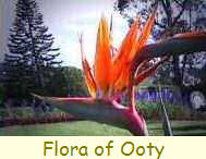 The Flora of Ooty
